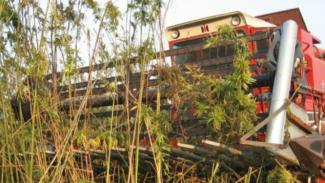 Coltivazione canapa: entrata in vigore la legge