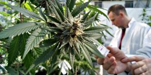 Giunta regionale, approvato disegno di legge per coltivazione cannabis