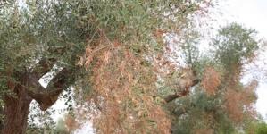 Xylella, Coldiretti: danno stimato supera 1mld euro