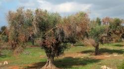 Xylella: Lega Puglia, presto qui Centinaio