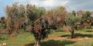 Xylella: batterio avanza in Salento