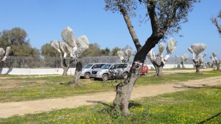 Tap, espianto ulivi: entro giovedì la decisione del Tar del Lazio
