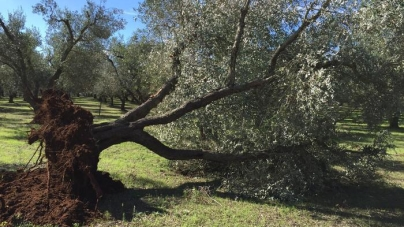 Xylella: dalla Regione Puglia in arrivo 47 mln