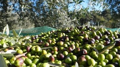 Xylella, Coldiretti: produzione olio calata del 28%