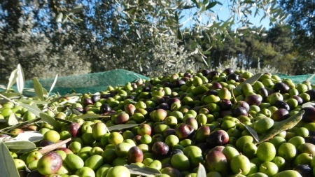 Xylella falcidia il raccolto di olive nel Salento: calo produttivo del 90%