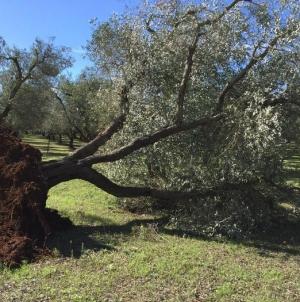 Xylella, ritardo negli abbattimenti degli ulivi infetti: la Puglia multa se stessa