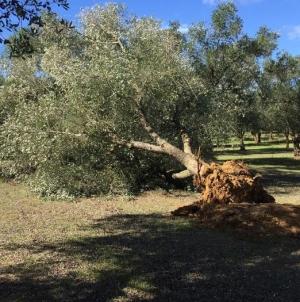Xylella, in Puglia danni totali per 1,2 miliardi di euro