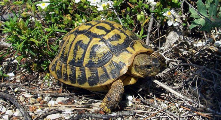 Vendeva tartarughe di specie protetta sul web: nei guai un salentino