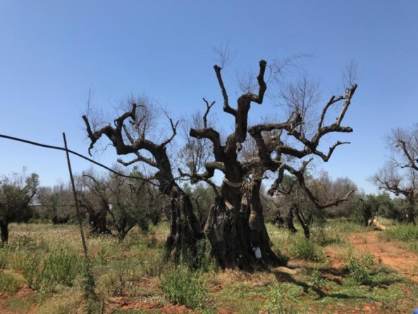 Xylella, 4 milioni di alberi morti e improduttivi: «Subito 500 milioni per il Salento»