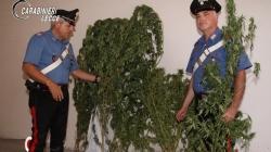 Piantagione di marijuana nell'orto di casa: arrestato un 50enne