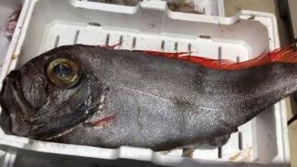 Allarme nel Salento: il mar Ionio è invaso da pesci alieni