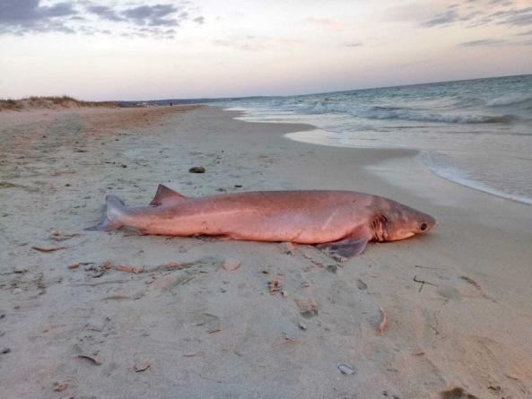 Squalo rosa dell'Atlantico rinvenuto in spiaggia a Torre Pali