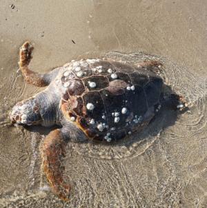 Trovata una tartaruga morta in spiaggia a San Cataldo di Lecce